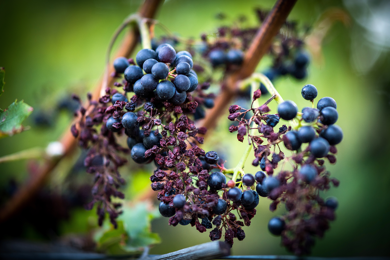 Le mildiou attaque le plus grand domaine de cornalin du - Maladie du raisin photo ...
