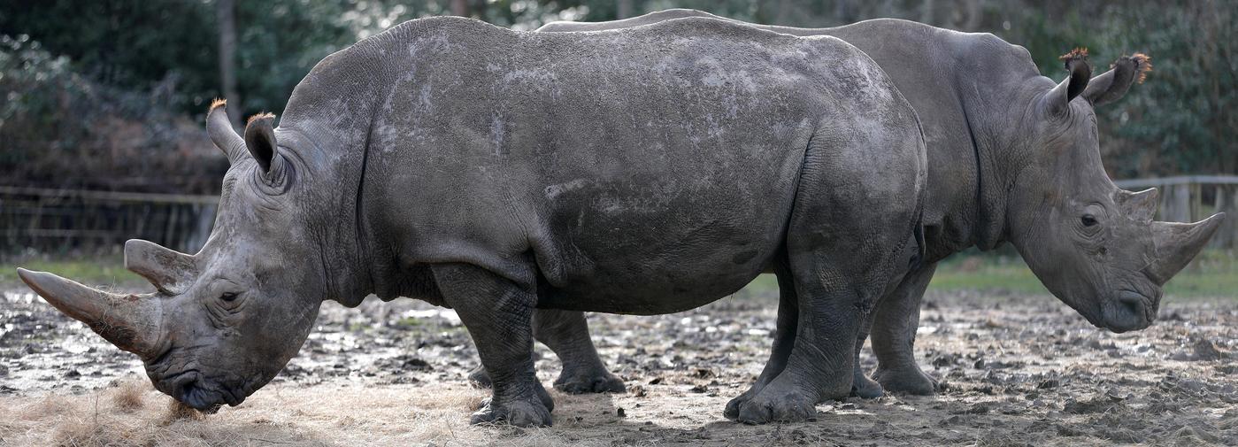 Le braconnage d un rhinoc ros dans un zoo des yvelines for Zoo en yvelines