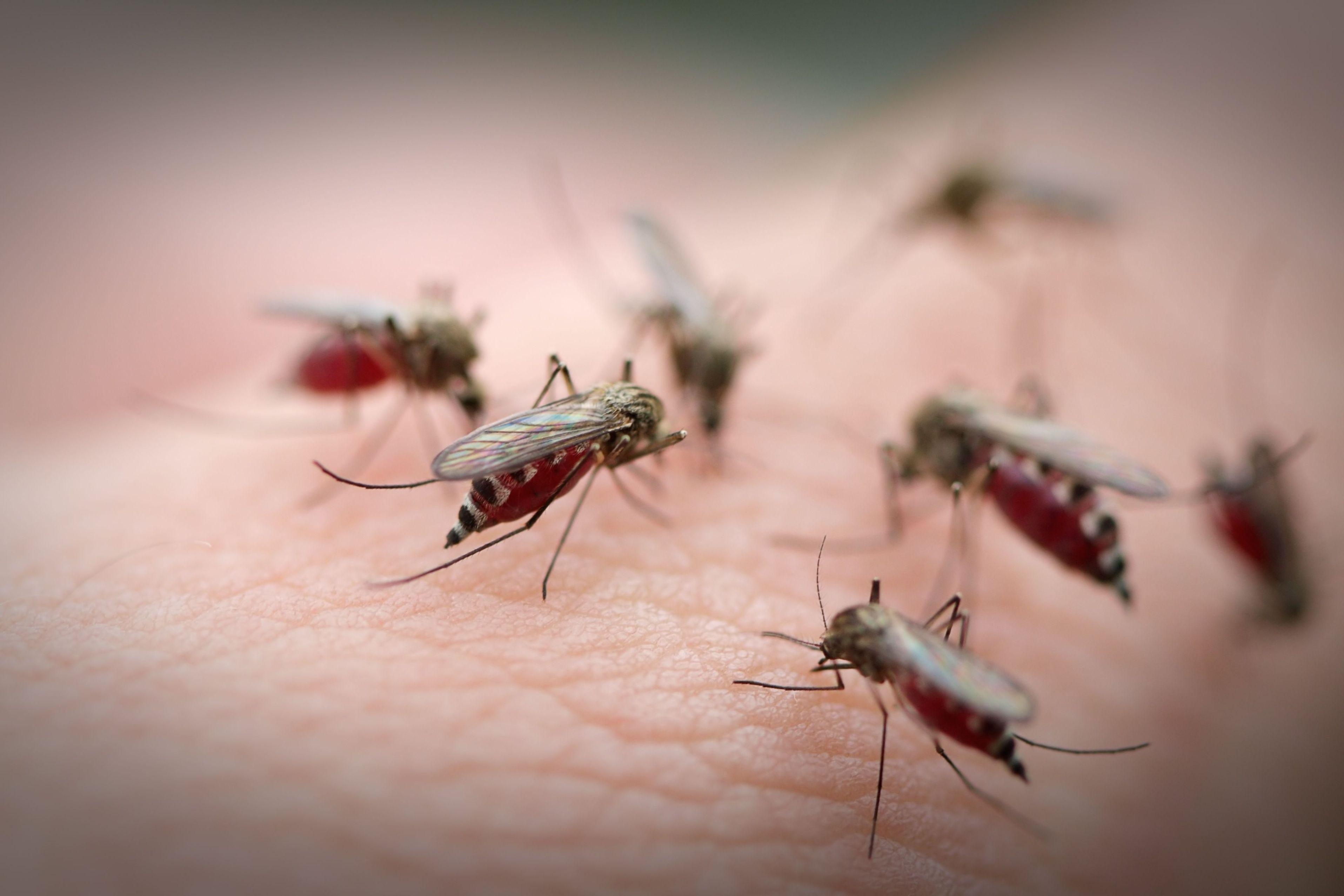 Muerden los mosquitos ?