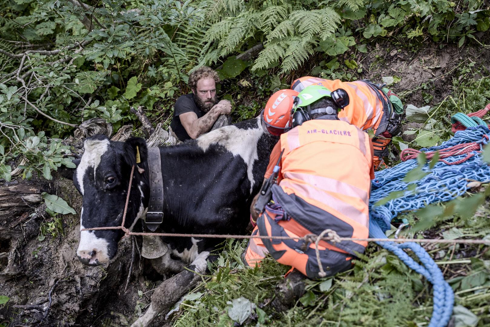 Intervention d'Air Glaciers, des sangles sont fixées autour de la vache.