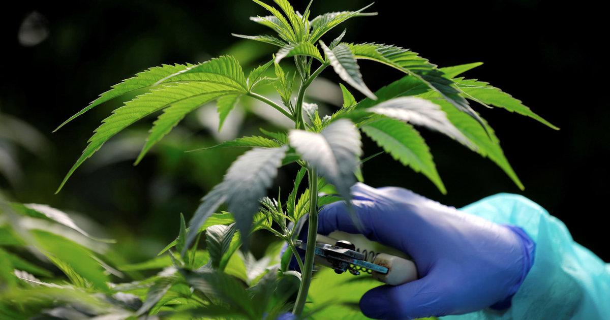 La BNS double ses investissements dans la marijuana