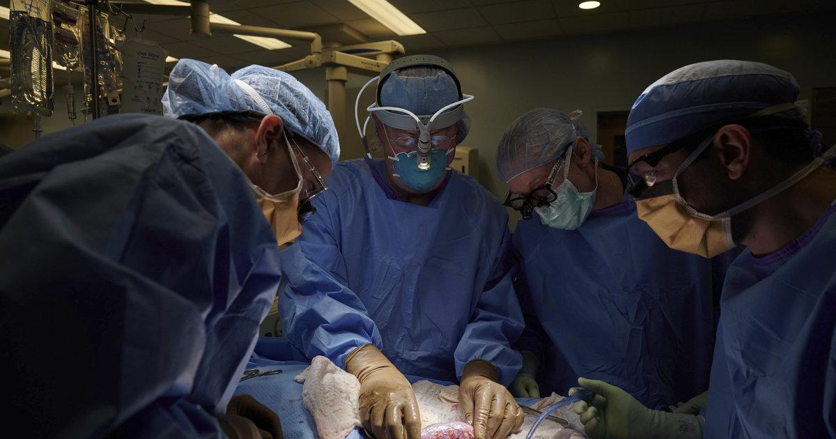 Des chirurgiens parviennent à transplanter un rein de cochon sur une femme en état de mort cérébrale